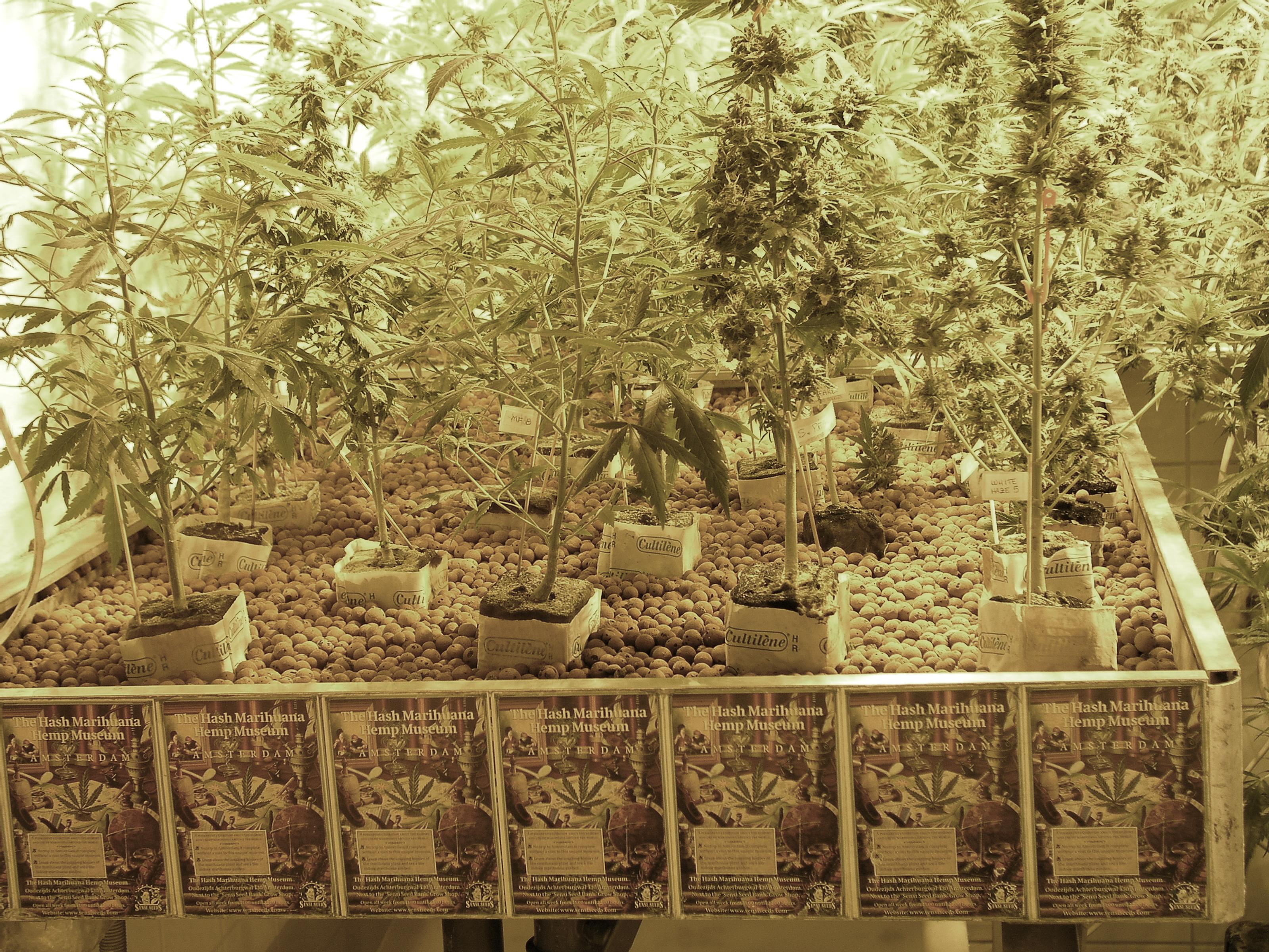 Marijuana Law (Texas) Defense Strategy